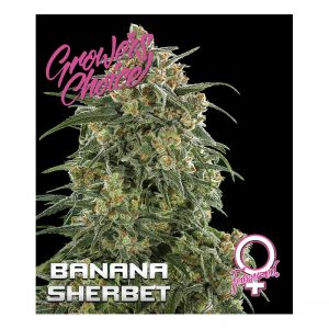 Banana Sherbet Feminised