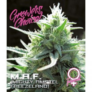 MAF –  Mighty Amstel Freezeland Feminized
