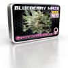 SuperLarge XXL Blueberry Haze Autoflower