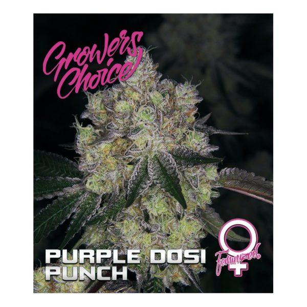 Purple Dosi Punch Feminized