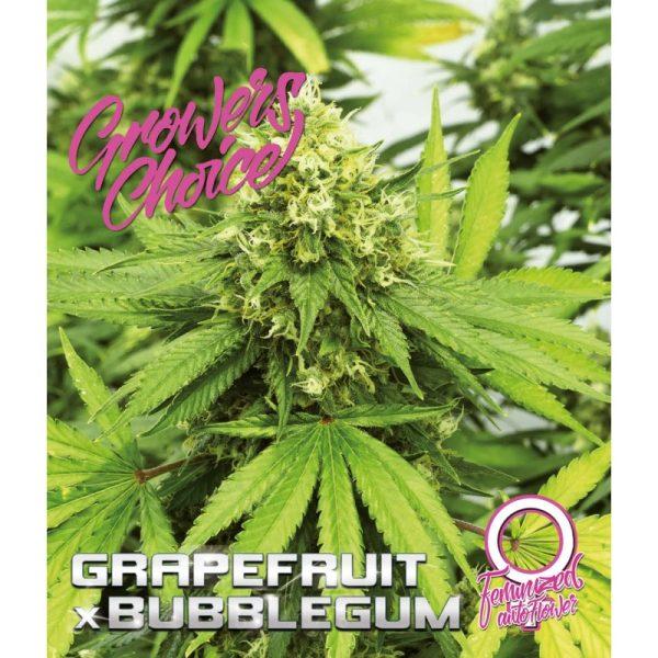 Grapefruit x Bubblegum AutoFlower